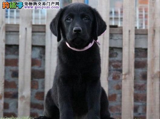 实物拍摄的呼和浩特拉布拉多犬低价出售 签订合法协议