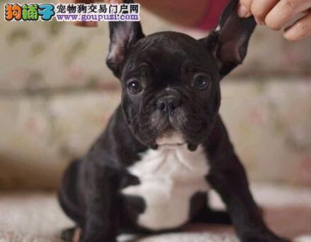 长春CKU犬舍繁殖出售斗牛犬 有血统证可签协议证书