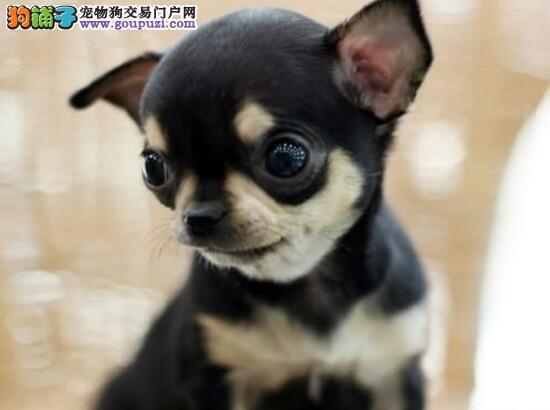 史上最小的犬最可爱口袋犬吉娃娃多只挑选可不要错过了