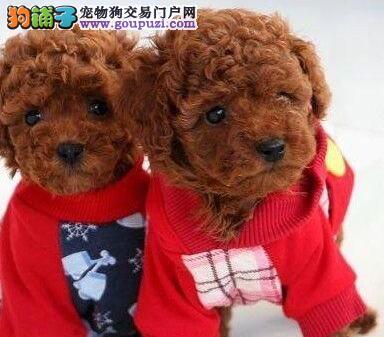 沈阳自家狗场直销韩系贵宾犬 有血统证书保证品质