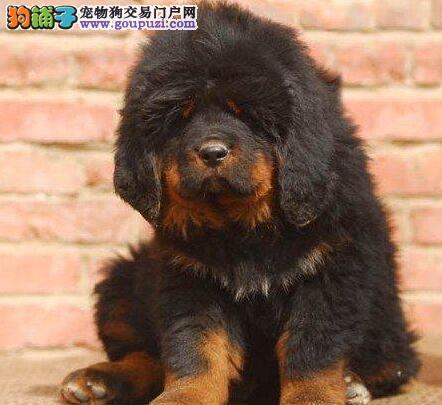 出售纯种原生态藏獒幼犬 欢迎来宁波犬舍直接购买