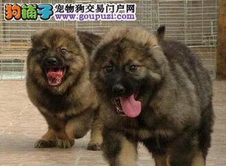 热销熊版优秀高加索犬 宁波自家狗场繁殖可视频选狗