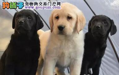 养殖基地出售冠军级拉登血系宁波拉布拉多犬 已做疫苗