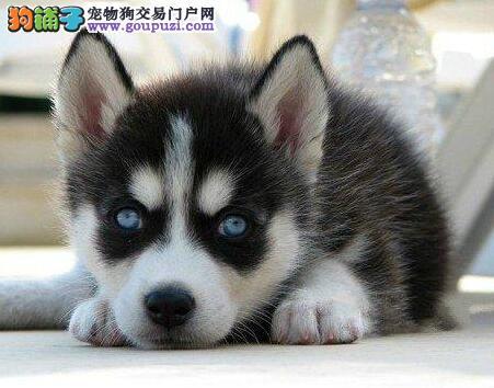 宁波专业狗场直销价格出售纯正哈士奇 免费赠送狗用品