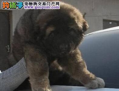 赛级纯种高加索犬幼犬高品质俄系大骨架护卫犬保健康