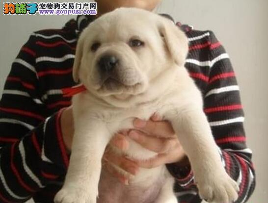 身材强壮血统纯正的大连拉布拉多犬低价出售 非诚勿扰