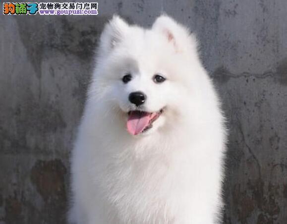 火爆出售双眼皮乖巧可爱的石家庄萨摩耶幼犬 非诚勿扰