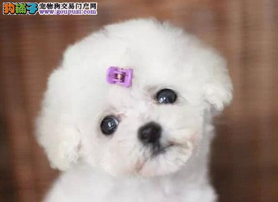 大连自家繁殖的一窝泰迪犬找爸爸妈妈 疫苗驱虫已做完