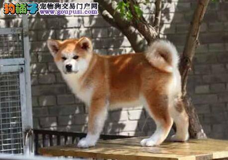 毛色纯正品相完美的大连秋田犬找爸爸妈妈 完美的售后