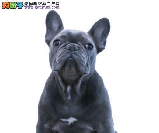 国际注册犬舍 出售极品赛级法国斗牛犬幼犬欢迎爱狗人士上门选购