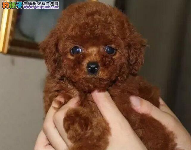 低价热销泰迪犬,金牌店铺放心选,当天付款包邮