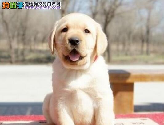 自家繁殖纯种合肥拉布拉多犬促销公母都有包活