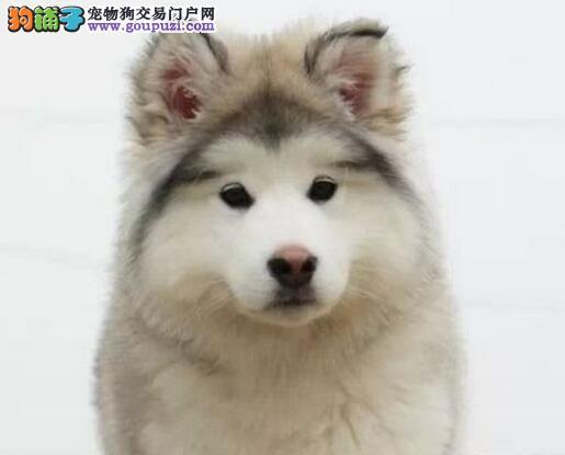 实体店热卖阿拉斯加犬颜色齐全终身售后保障