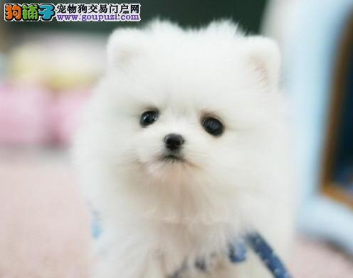 精品赛级博美犬 纯种健康品相优良 签订正规合同