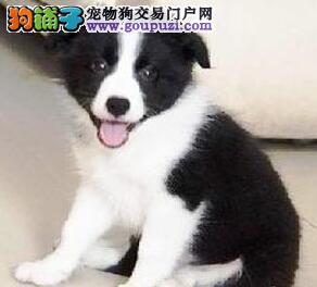 天津最大犬舍出售多种颜色边境牧羊犬送用品送狗粮