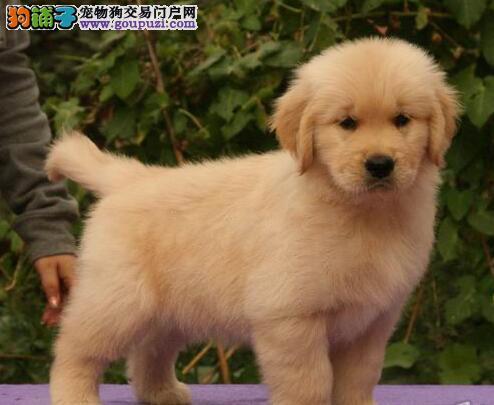 合肥大型培育中心出售金黄色的金毛犬 可随时上门看狗