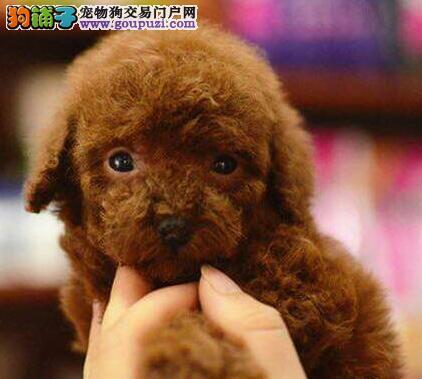 低价出售韩系泰迪犬 长沙地区有实体犬舍专业繁殖