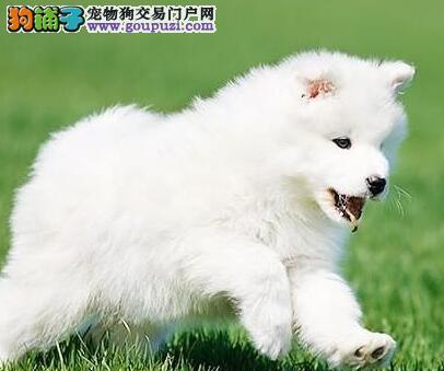 丽江实体店低价促销赛级萨摩耶幼犬包养活送用品