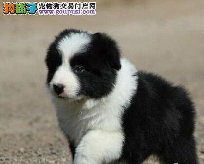 极品七白到位边境牧羊犬北京狗场特价出售 多只可选