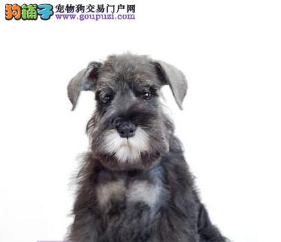 今日特价出售自家繁殖的广州雪纳瑞幼犬 拥有极佳品质