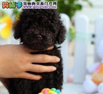 专业实体店促销好品质贵宾犬杭州市区购买送狗粮