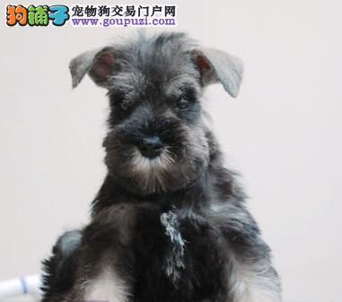 安康最大的雪纳瑞基地 完美售后微信咨询视频看狗