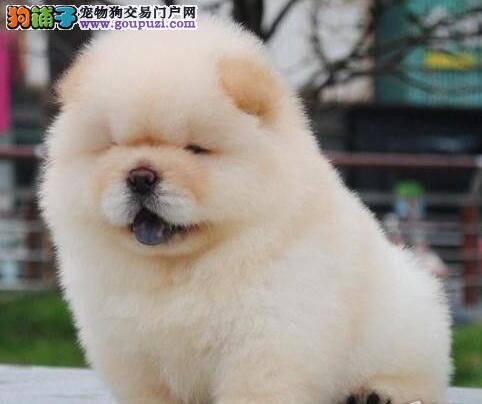 出售乖巧可爱憨厚忠诚的松狮犬 昆明市内免费送货