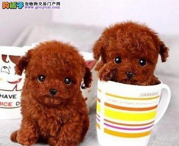 淄博知名犬舍出售深红色泰迪犬 品相好多只选购