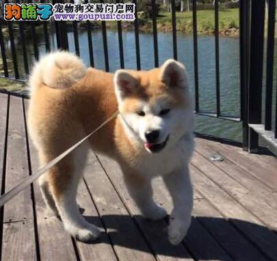 血统纯正品相极佳的淄博秋田犬热卖中 保障品质售后