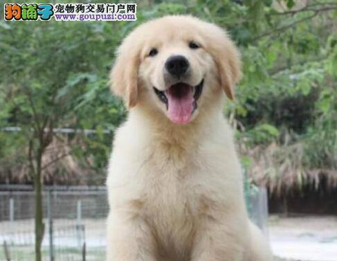 超大毛量品质极佳的淄博金毛犬找新家 狗贩子勿扰