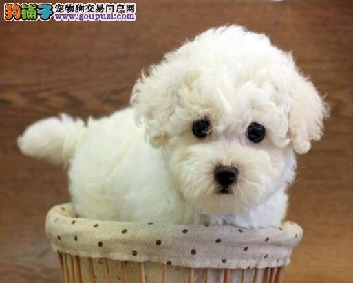赛级品相武汉比熊幼犬低价出售微信选狗直接视频