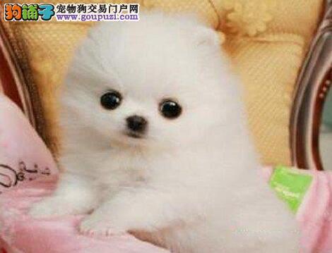 精品赛级博美犬 纯度第一价位最低 可签保障协议