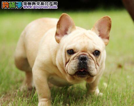 芜湖知名犬舍出售多只赛级法国斗牛犬保终身送用品
