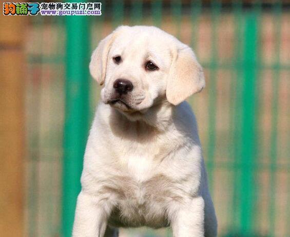 出售大头版骨骼健硕的拉布拉多犬 淄博市内可送货