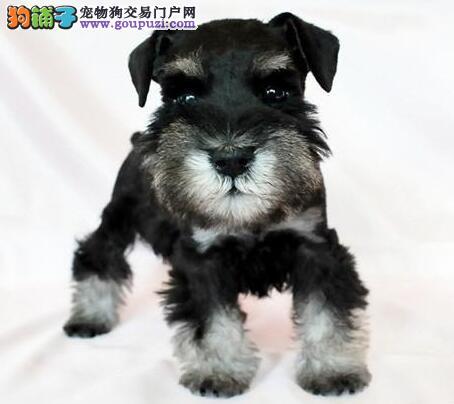 雪纳瑞幼犬出售中,价格美丽品质优良,三包终生协议