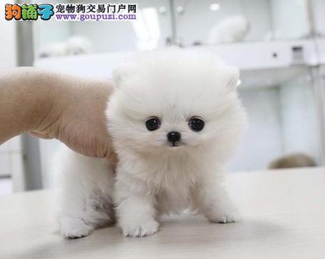 转让哈多利球形品相的淄博博美犬 可随时上门选购犬