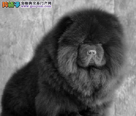 CKU认证犬舍出售纯种健松狮宝宝专业品质,健康活泼