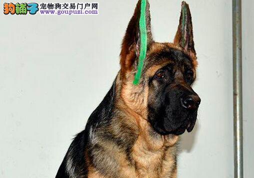 出售纯种德国牧羊犬、自家繁殖保健康、签订活体协议