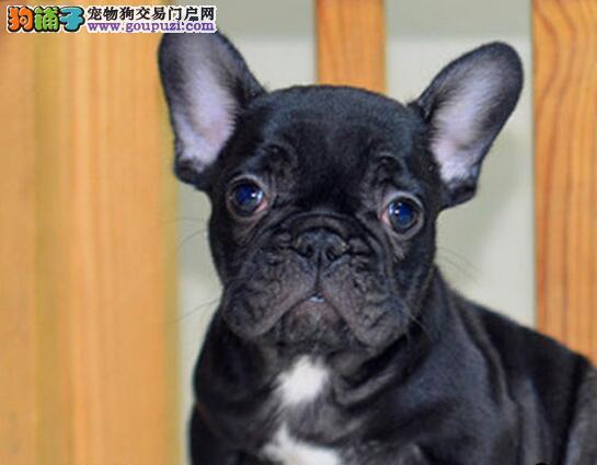 高气质血统纯正的海口斗牛犬低价出售中 请您放心选购