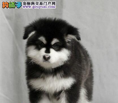 深圳正规犬业出售纯血系的阿拉斯加幼崽 多种血系供您选购