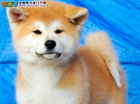 毛色纯正活泼可爱的日系秋田犬找新家 海口市内可送货