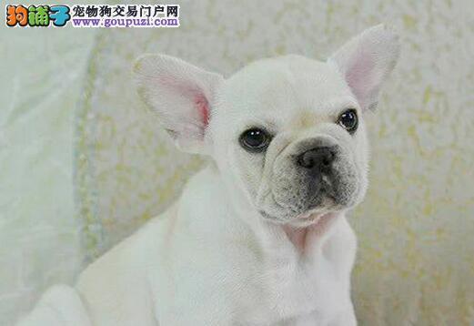 极品法国斗牛犬幼犬,假一赔十价位最低,可签保障协议