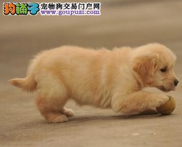 正规犬舍高品质金毛带证书购犬可签协议