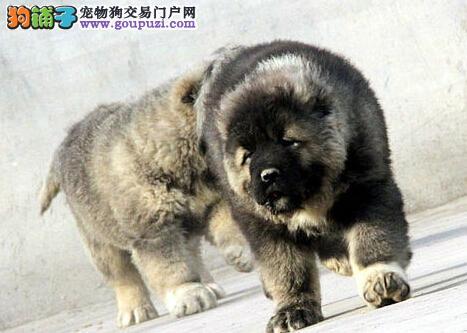 高大威猛原生态血系的高加索犬出售中 仅限厦门朋友选