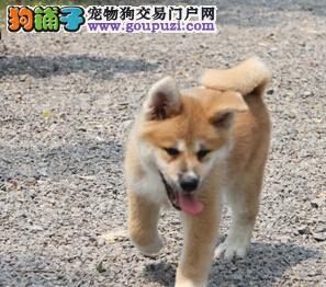 新年特价 西宁冠军级血统秋田犬正在热销 保纯保健康