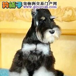 大胡须可爱型 高品质小体雪纳瑞西宁特价啦 纯种老头狗
