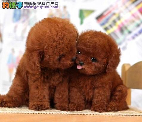 重庆哪里有卖泰迪重庆泰迪多少钱重庆泰迪买卖泰迪价格