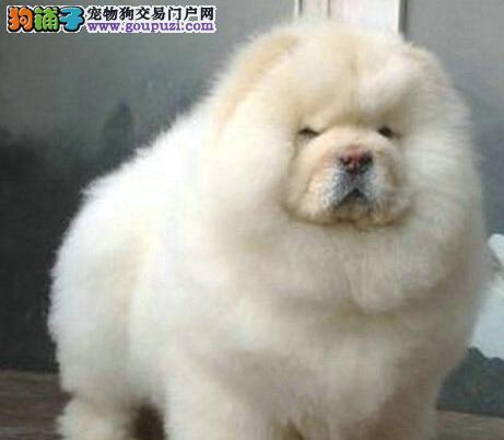 胖乎乎白色松狮 健康保障 西宁签协议出售 肉嘴紫舌头