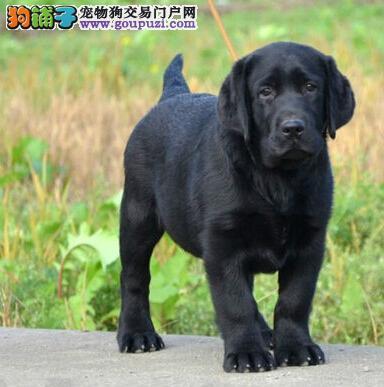 西宁直销聪明听话的纯种拉布拉多幼犬 完美售后有保障