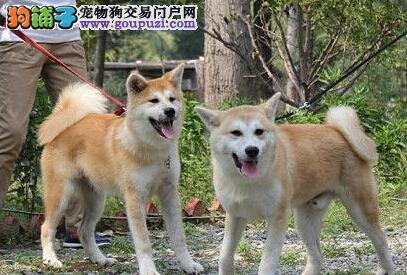 国际血统 实力保障 武汉专业繁育出售精品秋田犬幼犬